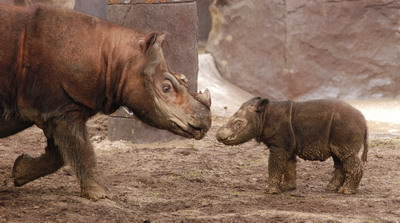 News: Malaysia and Indonesia should collaborate on Rhino breeding programmes, according to wildlife scientists
